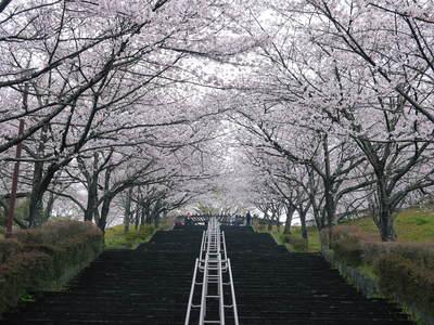 菊池神社、菊池公園の桜photoコレクション 2016_a0254656_19393039.jpg