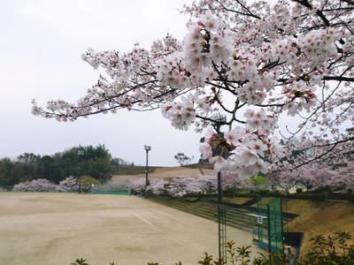 菊池神社、菊池公園の桜photoコレクション 2016_a0254656_19404821.jpg