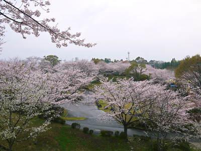 菊池神社、菊池公園の桜photoコレクション 2016_a0254656_19483479.jpg