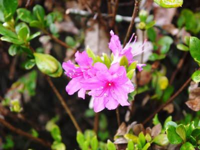 菊池神社、菊池公園の桜photoコレクション 2016_a0254656_19534798.jpg