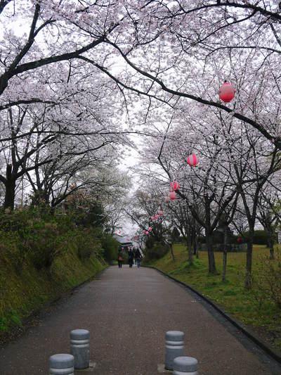 菊池神社、菊池公園の桜photoコレクション 2016_a0254656_19554284.jpg