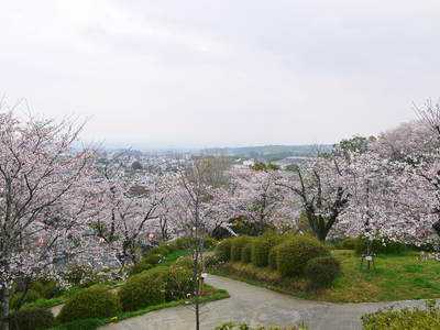 菊池神社、菊池公園の桜photoコレクション 2016_a0254656_195920100.jpg