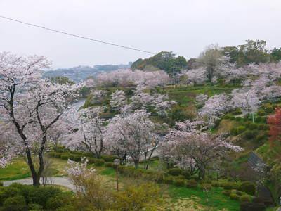 菊池神社、菊池公園の桜photoコレクション 2016_a0254656_2002466.jpg