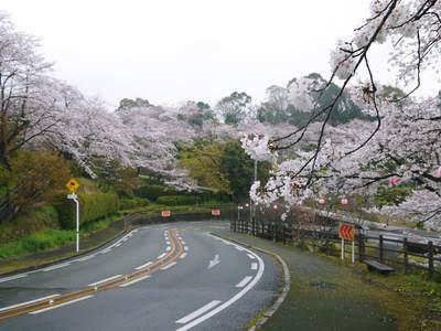 菊池神社、菊池公園の桜photoコレクション 2016_a0254656_20101417.jpg