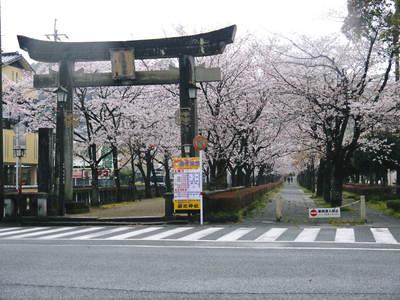菊池神社、菊池公園の桜photoコレクション 2016_a0254656_20212444.jpg