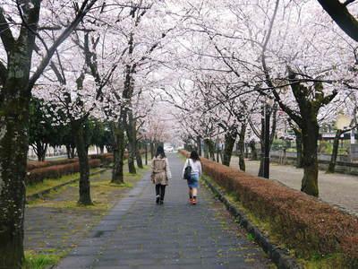 菊池神社、菊池公園の桜photoコレクション 2016_a0254656_20292013.jpg