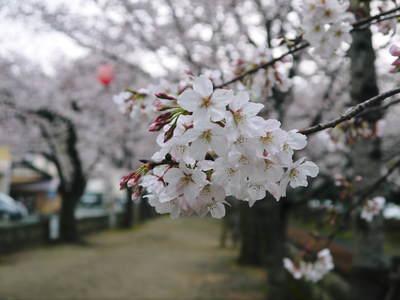 菊池神社、菊池公園の桜photoコレクション 2016_a0254656_2038689.jpg