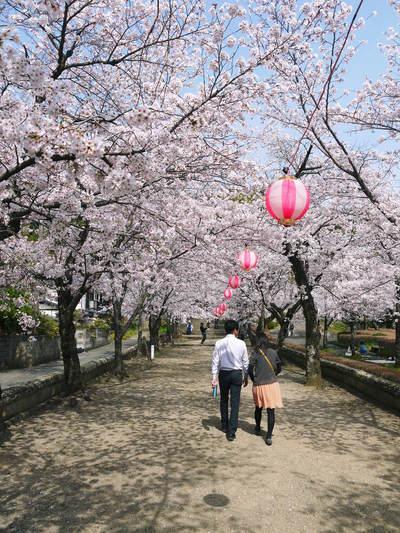 菊池神社、菊池公園の桜photoコレクション 2016_a0254656_20441657.jpg