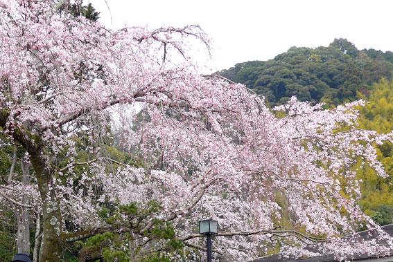 イトサクラがきれいに咲きました_b0145257_139441.jpg
