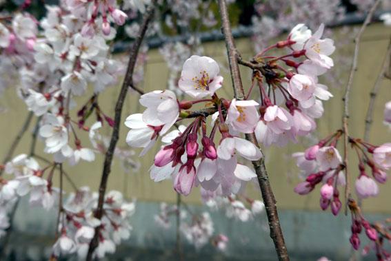 イトサクラがきれいに咲きました_b0145257_1395552.jpg