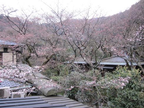 2016年 桜開花実況中継_c0078659_17361192.jpg