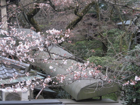 2016年 桜開花実況中継_c0078659_17364973.jpg
