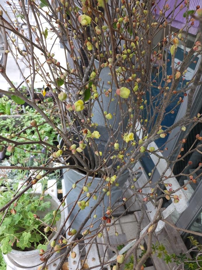 オークリーフ(春のマハ)_f0049672_18583325.jpg