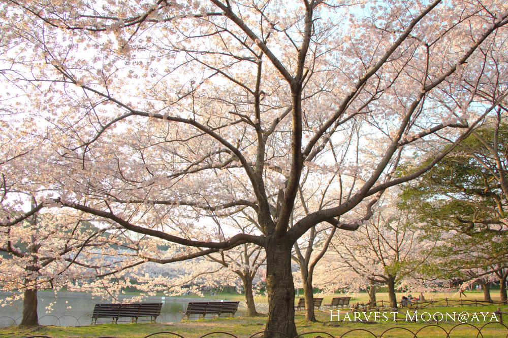 桜の招待状_b0208495_00060790.jpg