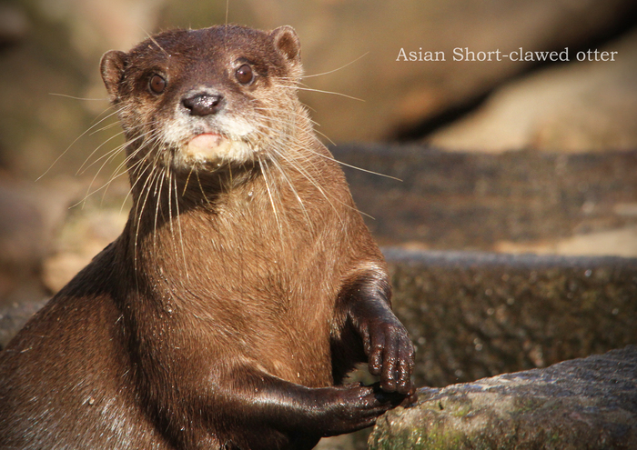 コツメカワウソ:Asian Short-clawed otter _b0249597_5183674.jpg
