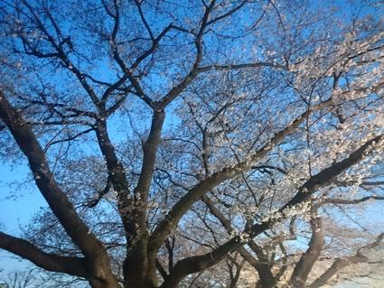 3/30 夜桜見物@会社_b0042308_11593190.jpg
