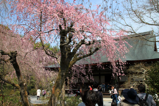 16 桜だより16 嵐山1天龍寺_e0048413_21111665.jpg