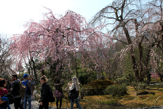 16 桜だより16 嵐山1天龍寺_e0048413_21112847.jpg