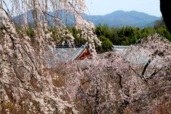 16 桜だより16 嵐山1天龍寺_e0048413_2112227.jpg