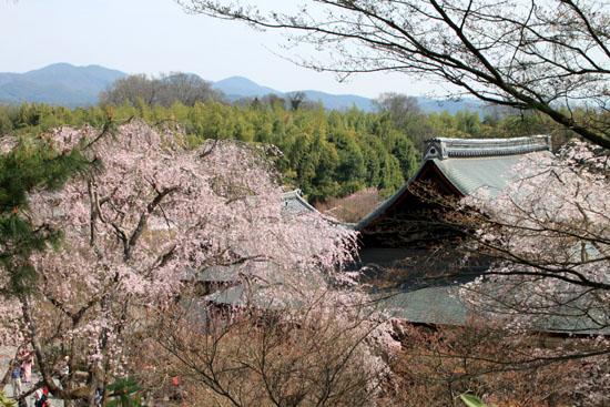 16 桜だより16 嵐山1天龍寺_e0048413_2112656.jpg