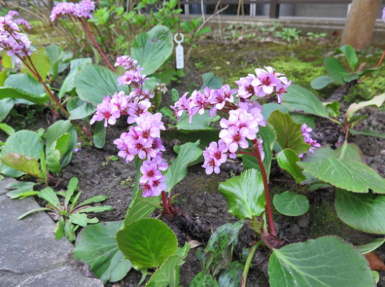 春の花々@鎌倉・大巧寺_c0192215_21124829.jpg
