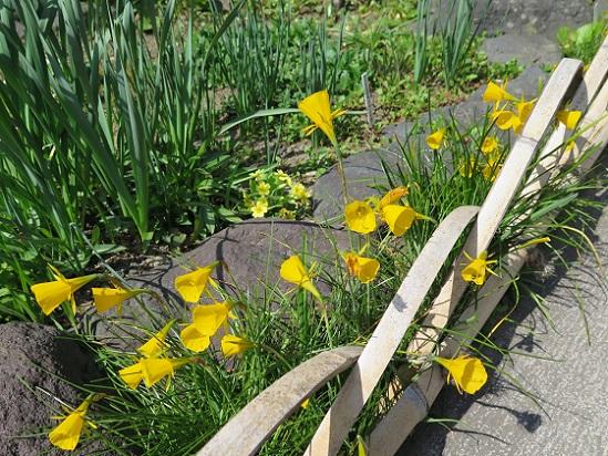 春の花々@鎌倉・大巧寺_c0192215_21242317.jpg
