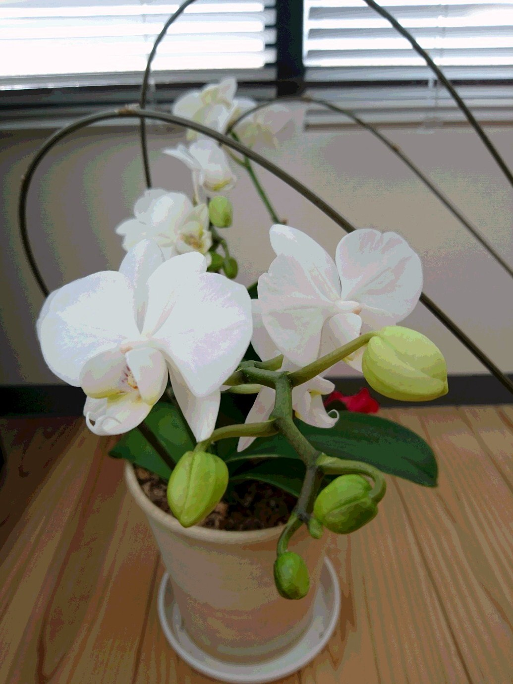 胡蝶蘭 たくさん咲きました_f0068517_15444340.jpg