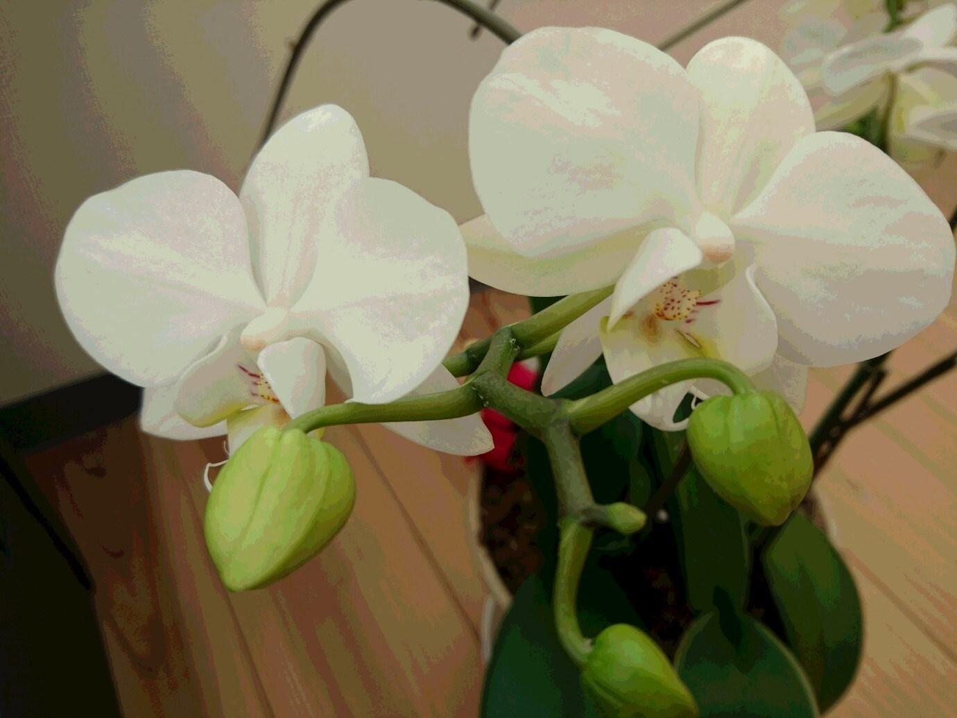 胡蝶蘭 たくさん咲きました_f0068517_15450420.jpg