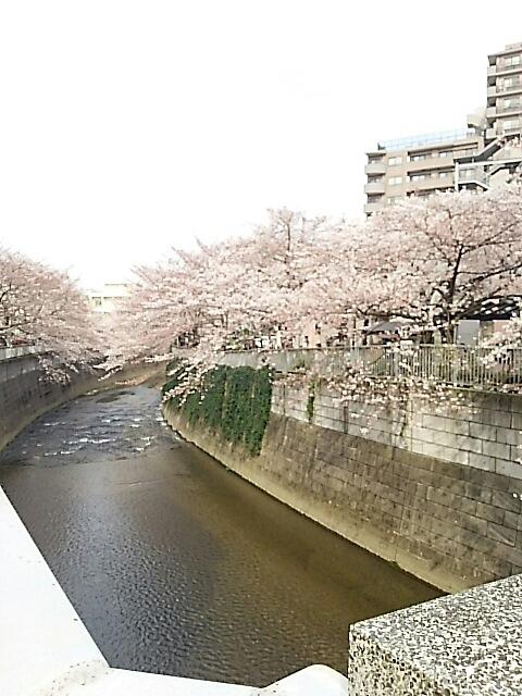 神田川の桜_c0124528_14275956.jpg