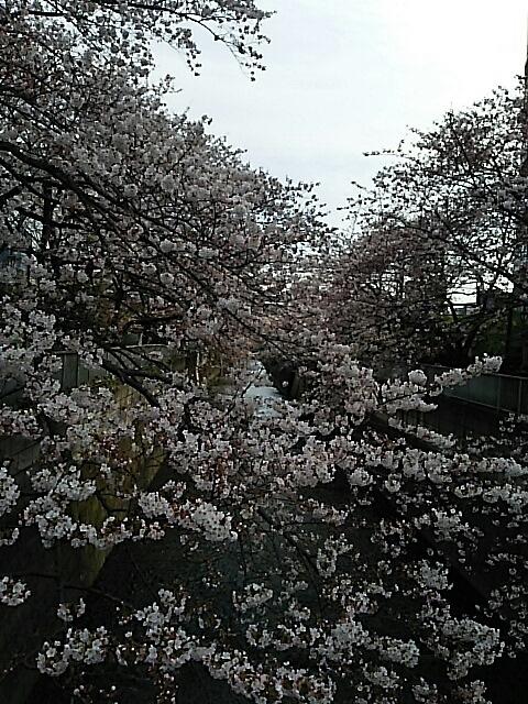 神田川の桜_c0124528_14280216.jpg