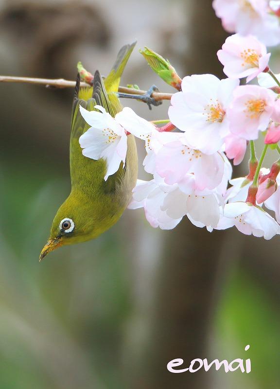 桜とメジロ_d0074828_22562452.jpg