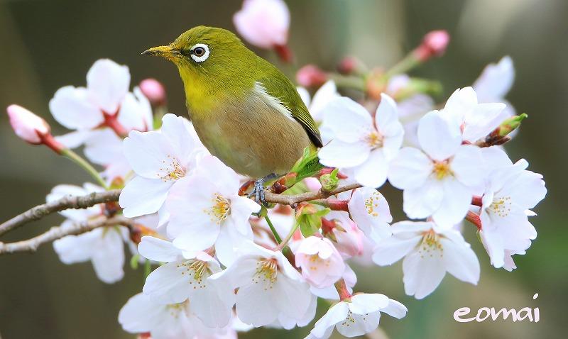 桜とメジロ_d0074828_22563713.jpg