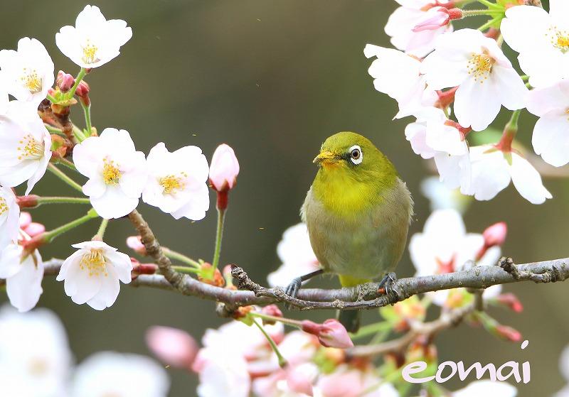 桜とメジロ_d0074828_22564681.jpg