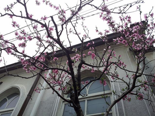 躑躅のような桜_e0051428_2453659.jpg