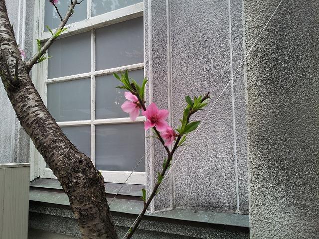 躑躅のような桜_e0051428_2453662.jpg
