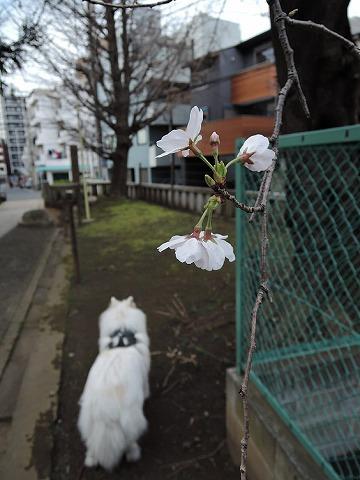 桜とクローカと_c0062832_9301059.jpg