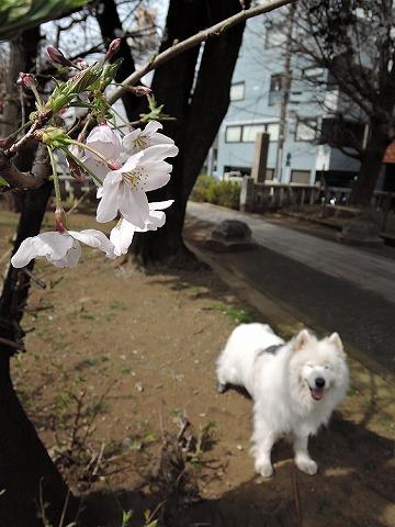 桜とクローカと_c0062832_930209.jpg