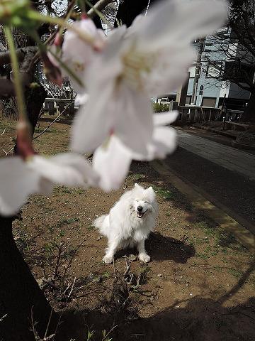 桜とクローカと_c0062832_9302796.jpg