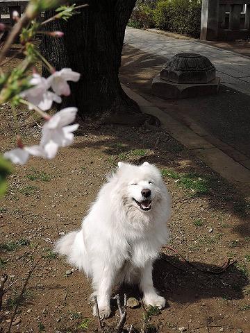 桜とクローカと_c0062832_9303428.jpg