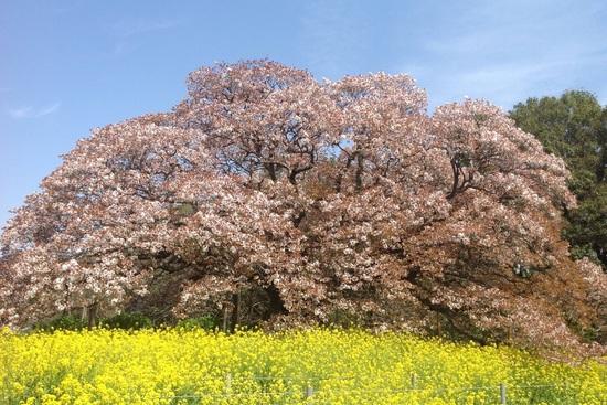 16.03.31(木) 桜満開(*^^)v❗️御花見シーズン到来❗️_f0035232_1653935.jpg