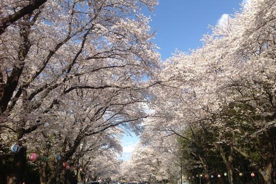16.03.31(木) 桜満開(*^^)v❗️御花見シーズン到来❗️_f0035232_16542929.jpg