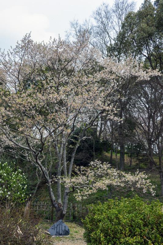 淡墨桜を今年も 公渕公園2016_d0246136_22493638.jpg