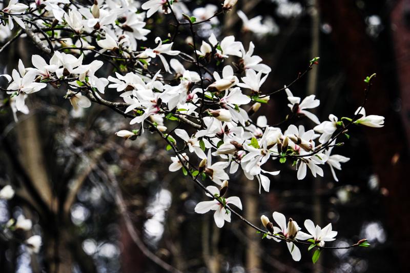 こぶしの花と教えて頂きました_d0246136_23470339.jpg