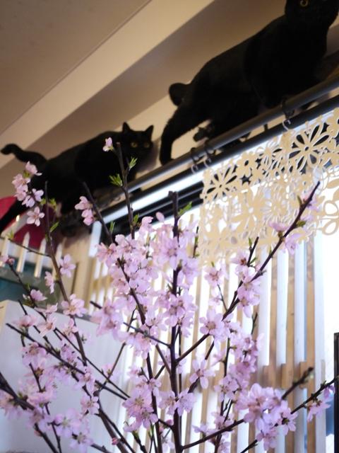 桜の上で汽車にゃっぽ猫 ぎゃぉすてぃぁら編。_a0143140_230187.jpg