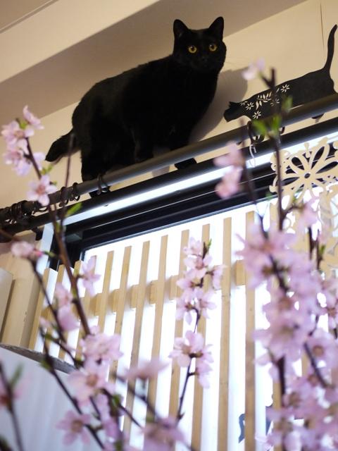 桜の上で汽車にゃっぽ猫 ぎゃぉすてぃぁら編。_a0143140_2313184.jpg