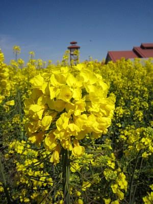 西側の菜の花満開です!_c0141652_829256.jpg