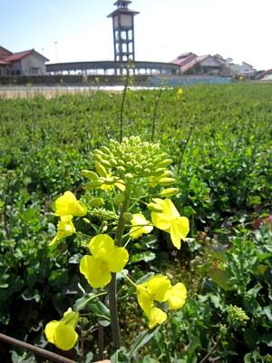 西側の菜の花満開です!_c0141652_8454269.jpg