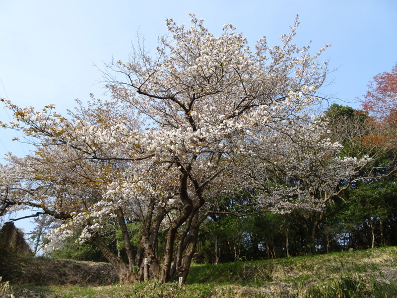 うみべの森のヤマザクラは満開である_c0108460_21031494.jpg