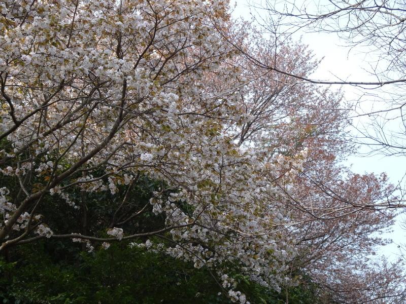 うみべの森のヤマザクラは満開である_c0108460_21152912.jpg