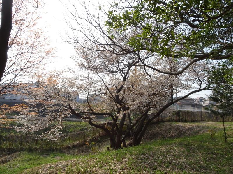 うみべの森のヤマザクラは満開である_c0108460_21360437.jpg